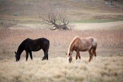 Pferde in der Weide Stockfoto