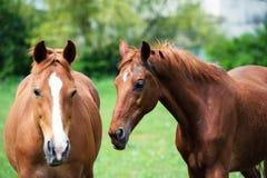 Pferde in der Weide nahe dem Haus stockbild