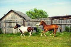 Pferde in der Weide nahe dem Haus lizenzfreie stockbilder