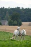 Pferde in der Wiese Lizenzfreie Stockbilder