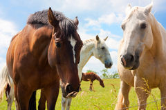 Pferde in der Wiese Stockbild