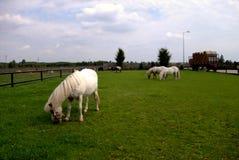 Pferde in der Wiese Stockfotos
