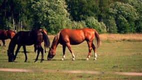 Pferde, die auf blühenden Landschaften des Pferdebauernhofes weiden lassen stock footage
