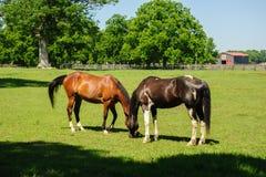 Pferde, die auf dem Bauernhof weiden lassen lizenzfreie stockfotografie