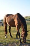 Pferde, die auf den Südabstiegen in England weiden lassen Lizenzfreies Stockfoto