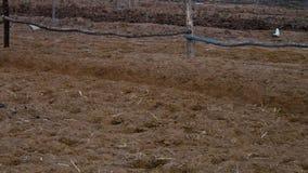 Pferde, die auf einem Bauernhof laufen stock video footage