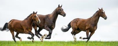 Pferde, die auf einem Gebiet galoppieren Lizenzfreie Stockfotografie