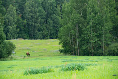 Pferde, die auf einem Gebiet nahe dem Wald weiden lassen Stockbilder