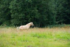 Pferde, die auf einem Gebiet nahe dem Wald weiden lassen Stockfoto