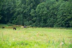 Pferde, die auf einem Gebiet nahe dem Wald weiden lassen Lizenzfreie Stockfotografie