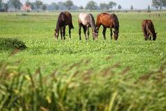 Pferde, die auf einem Gebiet weiden lassen Lizenzfreie Stockfotos