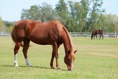 Pferde, die auf einem Gebiet weiden lassen Lizenzfreies Stockbild
