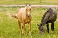 Pferde, die auf einem Gebiet weiden lassen Stockfotos