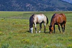 Pferde, die auf einem Gebiet weiden lassen Stockfoto