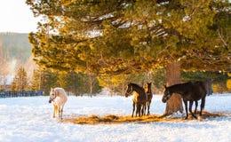 Pferde, die auf einem Gebiet weiden lassen Stockbilder