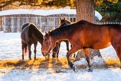 Pferde, die auf einem Gebiet weiden lassen Lizenzfreie Stockbilder