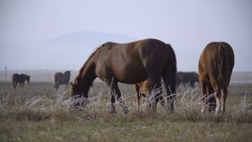 Pferde, die auf einem Gebiet weiden lassen stock footage