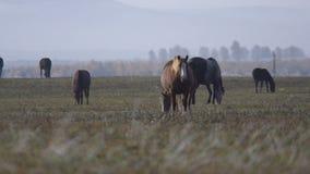 Pferde, die auf einem Gebiet weiden lassen stock video footage