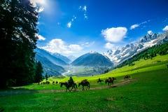 Pferde, die auf einem Hügel, Kaschmir weiden lassen Stockfotografie