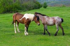 Pferde, die auf einer gr?nen Bergwiese in Strandzha-Berg, Bulgarien weiden lassen stockbild