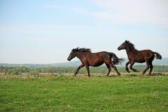 Pferde, die auf Feld laufen Lizenzfreie Stockfotos