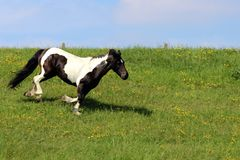 Pferde, die auf Gras laufen stockfotos