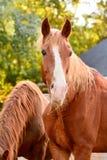 Pferde, die auf Heu und Stroh auf dem Bauernhof einziehen Stockfotografie