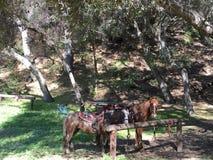 Pferde, die auf Schneise stillstehen Stockfoto