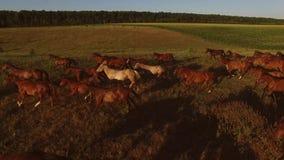 Pferde, die auf Wiese galoppieren stock video