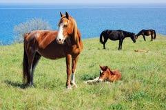Pferde, die auf Wiese nahe dem Meer weiden Stockfotografie
