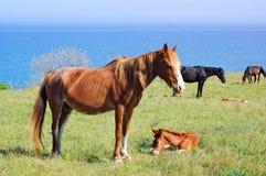 Pferde, die auf Wiese nahe dem Meer weiden Stockfoto