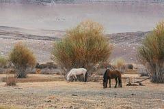 Pferde, die in den Steppen und in den Vorbergen von Mongolei weiden lassen Stockbilder