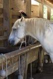 Pferde, die an der Abflussrinne speisen Stockfoto