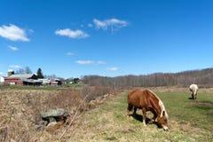Pferde, die in der Weide weiden lassen Stockfotografie