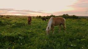 Pferde, die in der Wiese bei Sonnenuntergang weiden lassen stock video