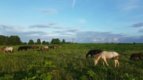 Pferde, die in der Wiese bei Sonnenuntergang weiden lassen stock video footage