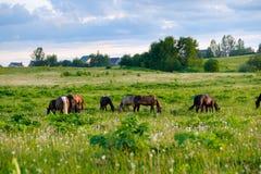 Pferde, die in der Wiese bei Sonnenuntergang weiden lassen Lizenzfreie Stockfotografie
