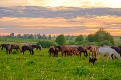 Pferde, die in der Wiese bei Sonnenuntergang weiden lassen Lizenzfreie Stockfotos