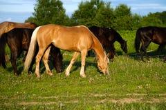 Pferde, die in der Wiese bei Sonnenuntergang weiden lassen Lizenzfreies Stockbild