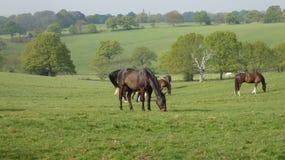 Pferde, die in der Wiese weiden lassen lizenzfreie stockfotografie