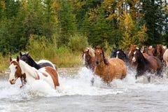 Pferde, die einen Fluss in Alberta, Kanada kreuzen lizenzfreie stockfotos