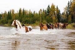 Pferde, die einen Fluss in Alberta, Kanada kreuzen lizenzfreies stockfoto