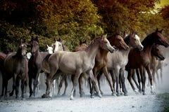 Pferde, die entlang eine Landstraße laufen Lizenzfreies Stockfoto