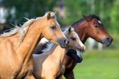 Pferde, die in Feld laufen lizenzfreie stockbilder