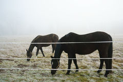 Pferde, die Feld-Winter weiden lassen Lizenzfreie Stockbilder