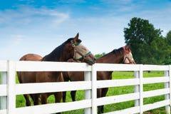 Pferde, die Fliegenmasken im Sommer am Pferdebauernhof tragen Stockbild