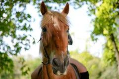 Pferde, die Fokus untersuchen Stockfotos