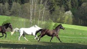 Pferde, die frei auf Wiese galoppieren stock video