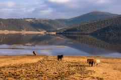 Pferde, die frei in Shudu See am Shangri-La durchstreifen stockfotografie