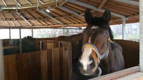 Pferde, die in gehende Übungsmaschine in den Ställen laufen stock footage